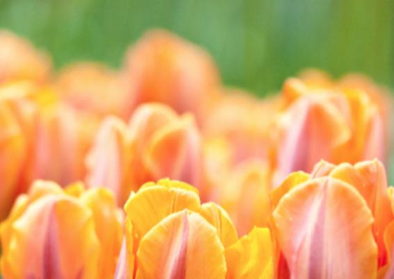 Oranje boven met tulpen 2