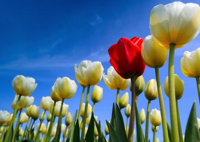 Prachtige Hollandse tulpen 1