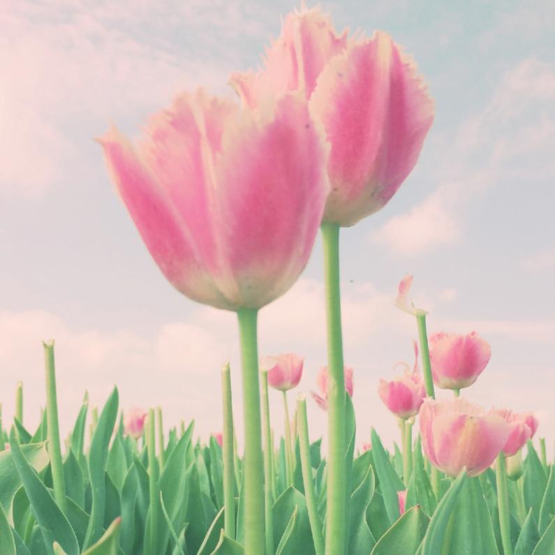 twee  zachte tulpen 1