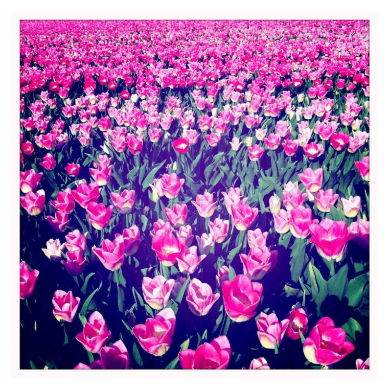 Veld met roze tulpen 1