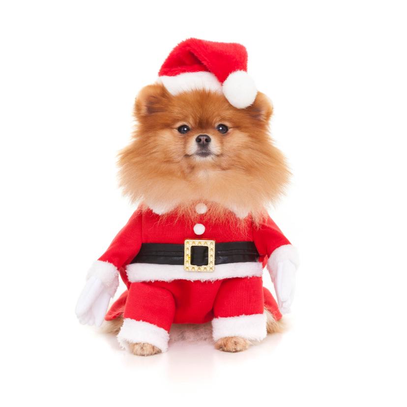 Kerstkaarten - Dieren Kerstkaart - Pomeranian kerstman