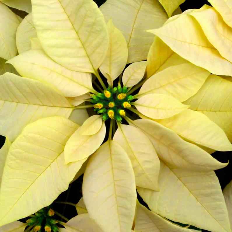 Kerstkaarten - Kerstster geel kaart