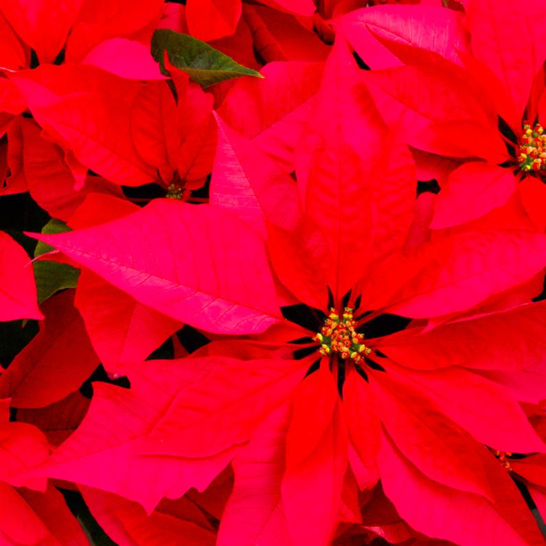 Kerstkaarten - Kerstster roode kaart