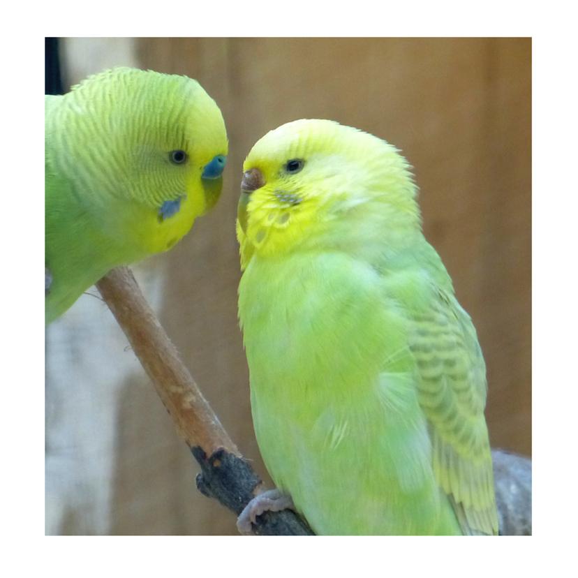 Liefde kaarten - liefde Kissing Love-Birds