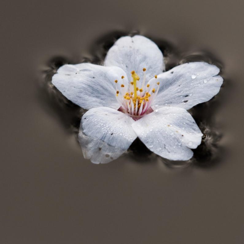 Rouwkaarten - Prunusbloem drijft op water
