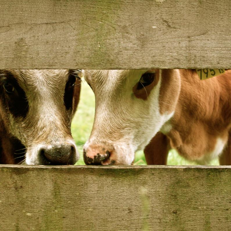 Samenwonen kaarten - Glurende koeien