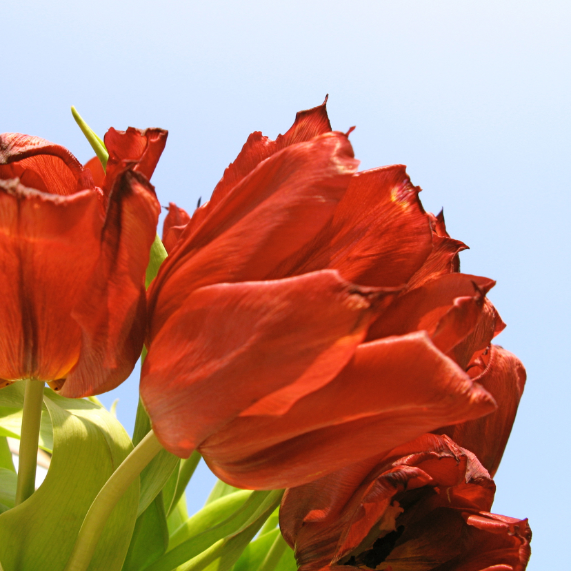 Sterkte kaarten - kaart rode tulpen