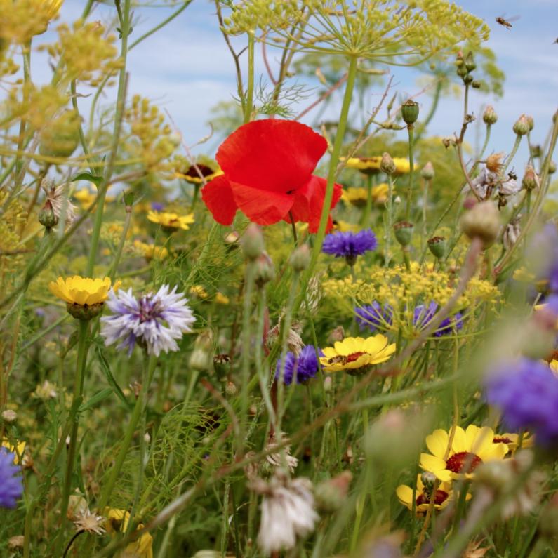 Sterkte kaarten - klaproos met andere bloemen