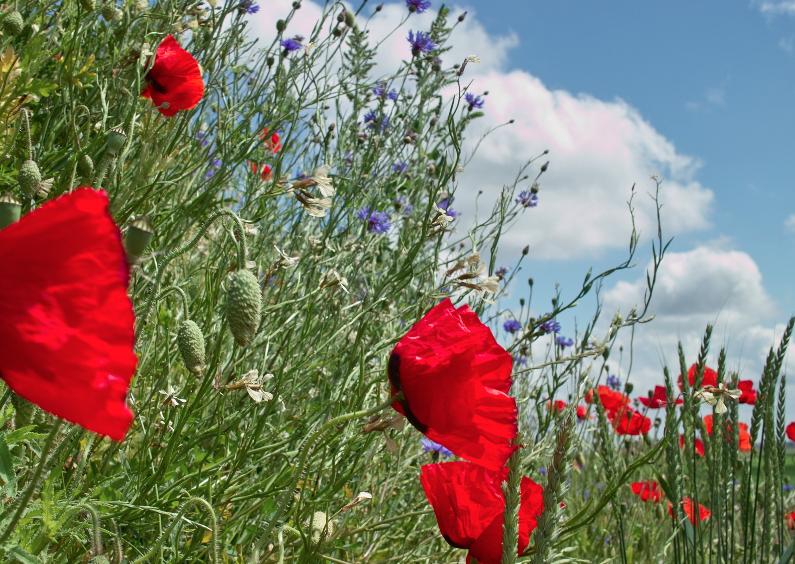 Klaprozen in bloemenveld 1