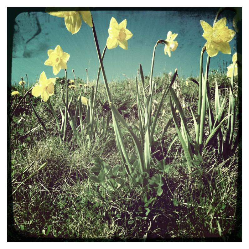 Sterkte kaarten - Narcissen in het veld