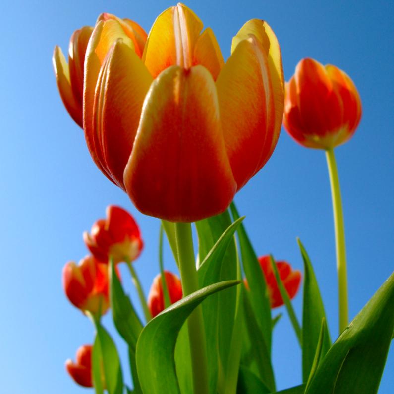 Sterkte kaarten - roodgele tulpen