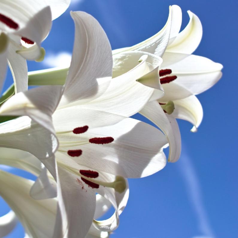 Sterkte kaarten - witte lelies
