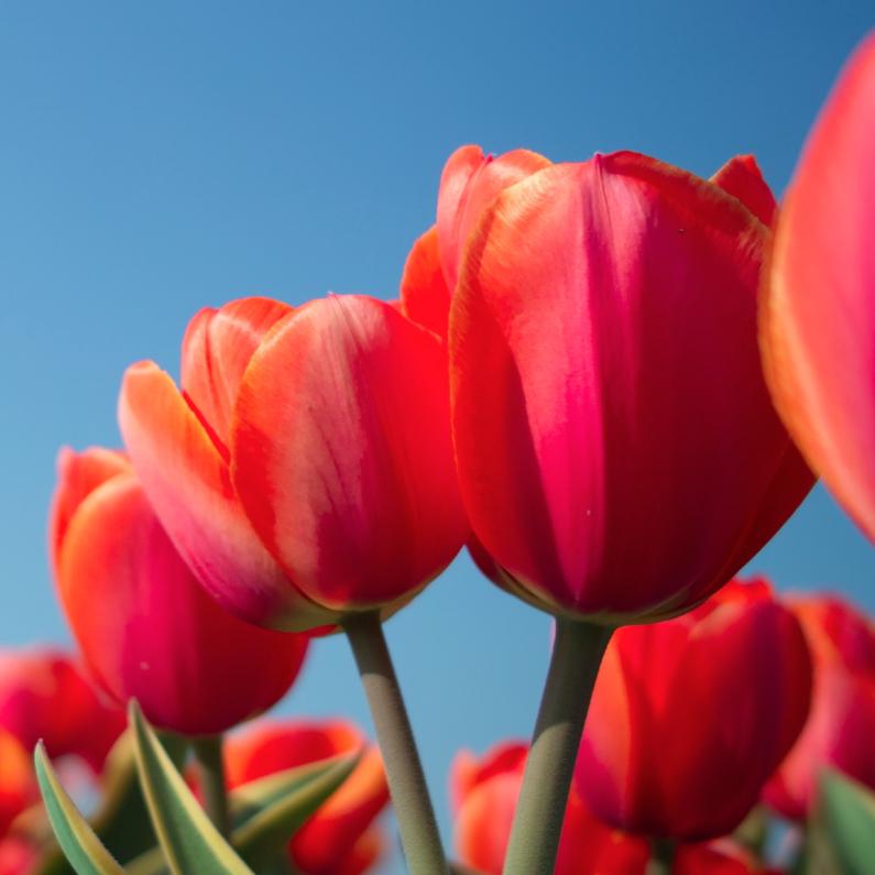 Verjaardagskaarten - rijtje rode tulpen