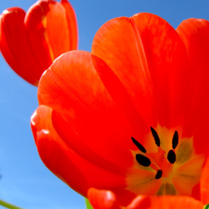 Verjaardagskaarten - twee rode tulpen