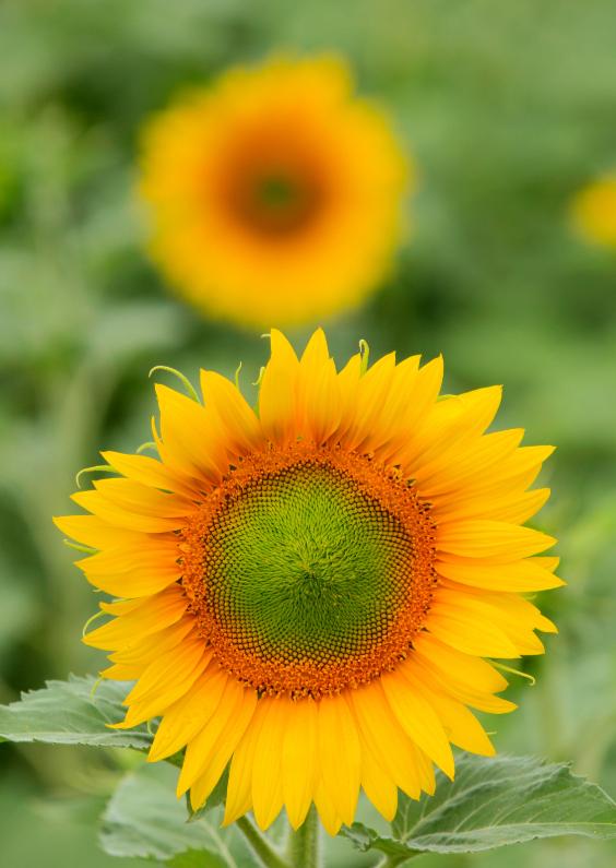 Zomaar kaarten - Bloeiende zonnebloemen