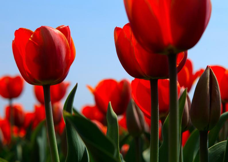Zomaar kaarten - Rode tulpen in bloei