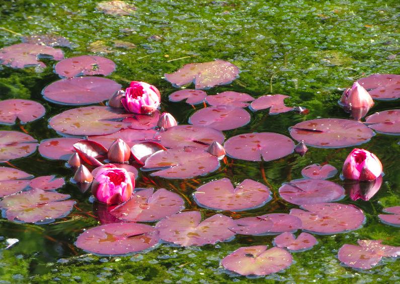Zomaar kaarten - Roze waterlelies fotokaart