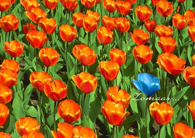 Zomaar kaarten - Zomaar met afwijkende blauwe tulp